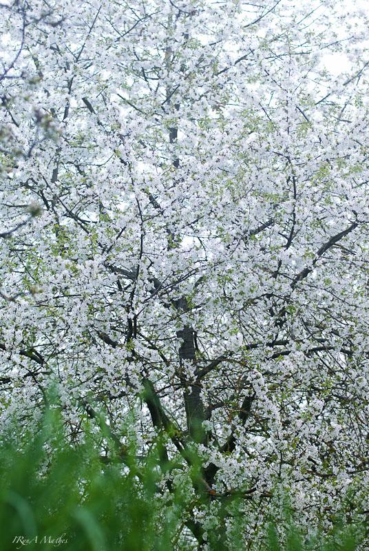 Kirschbaum im voller Blütenpracht