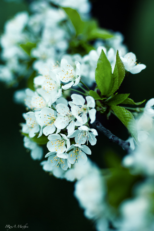 Blühende Kirschbaum Ast