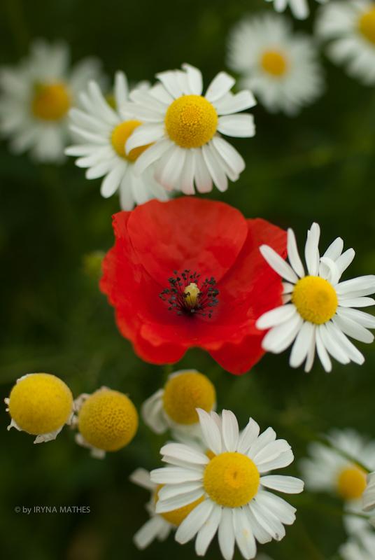 Sommerwiese: Mohn und Margerite / Fotografiert von Iryna Mathes