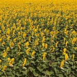 Typical landscape near Poltava: field with sunflowers