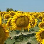 Sunflowers….