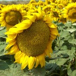… and more sunflowers