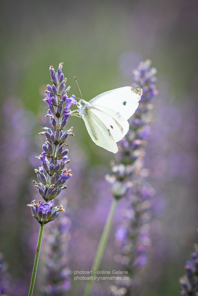 Lavender-and-butterfly-summer21-web-3045