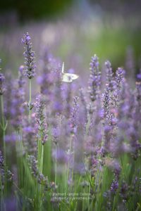 Lavender-and-butterfly-summer21-web-3048