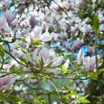 Magnolien im Park