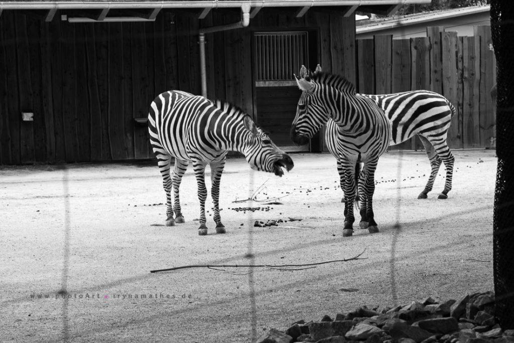 Zebras in Karlsruhe Zoo