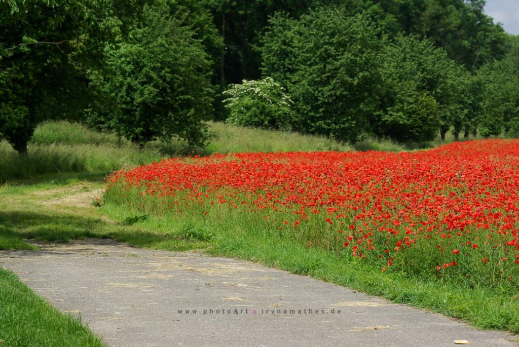 mohn-landschaft-linkenheim-167