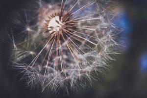 The-dandelion-WEB
