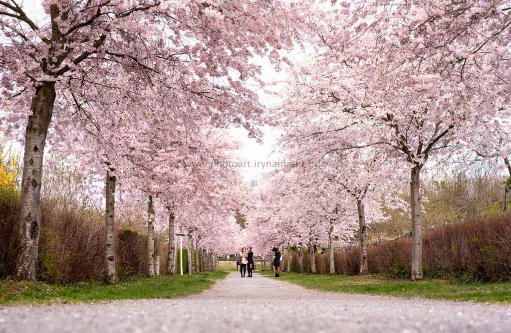 Kirschbäume-Frühling-136-B-WEB