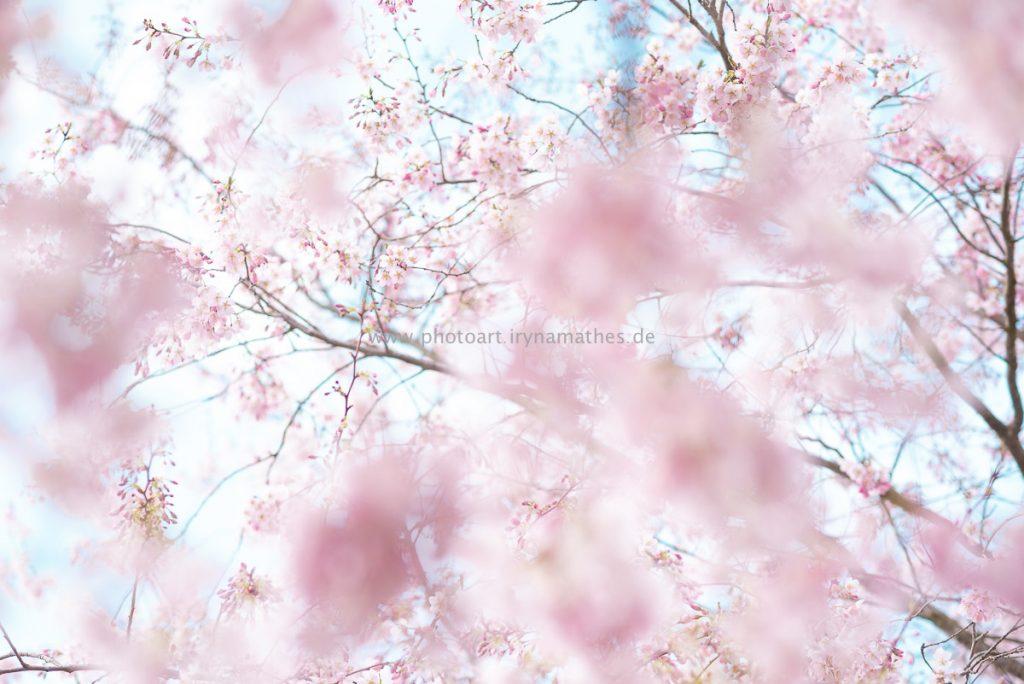 Kirschbäume-Frühling-146-WEB