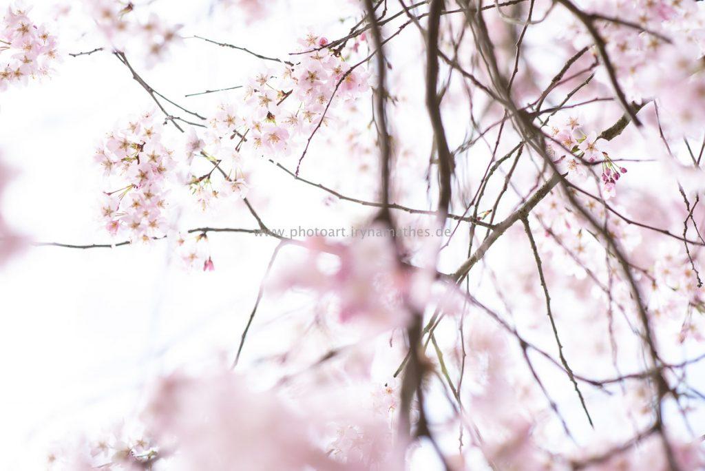 Kirschbäume-Frühling-148-WEB
