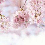 Die Kirschblüte