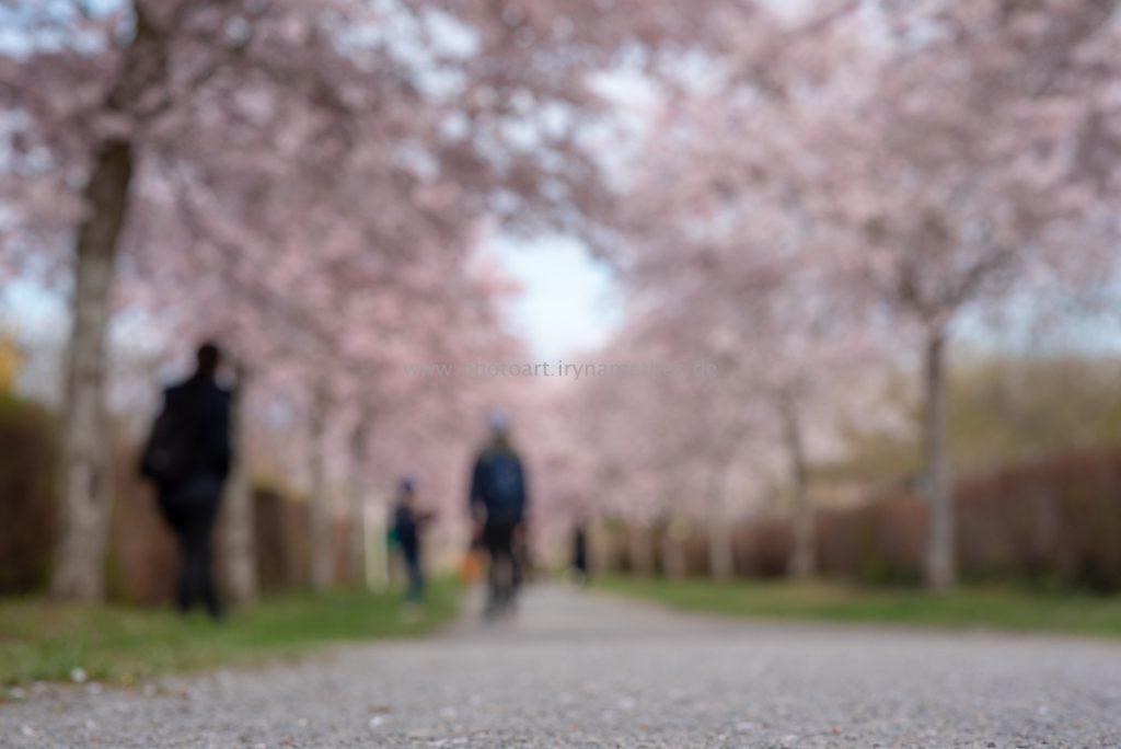 Kirschbäume-Frühling-155-B-WEB