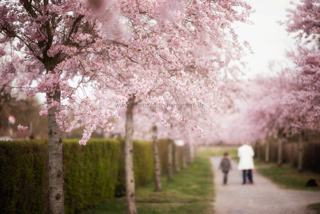 Kirschbäume-Frühling-157-B-WEB