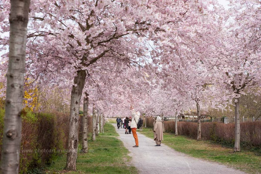 Kirschbäume-Frühling-161-B-WEB
