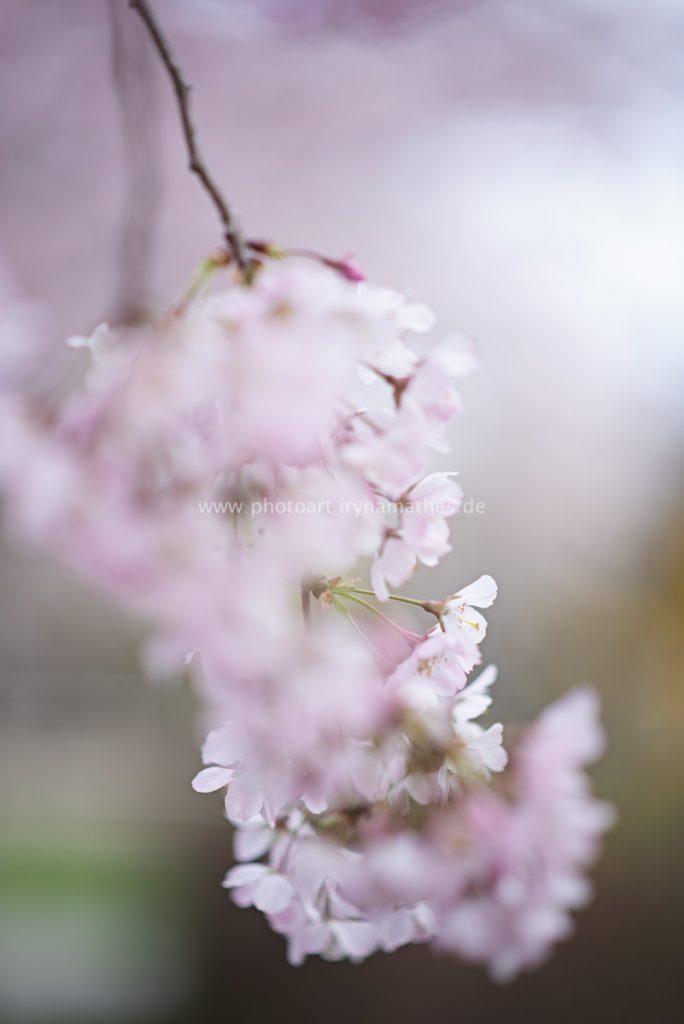 Kirschbäume-Frühling-168-B-WEB