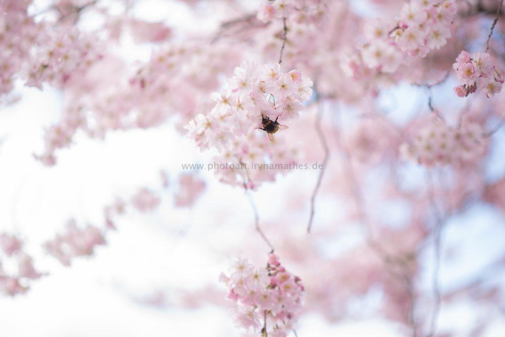 Kirschbäume-Frühling-178-B-WEB
