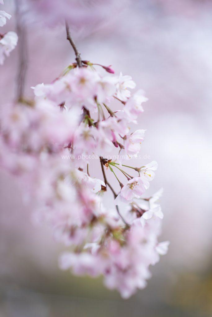 Kirschbäume-Frühling-180-WEB