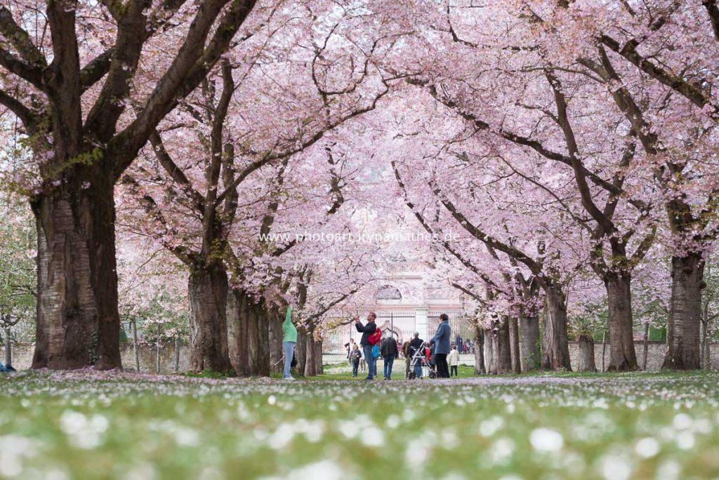 Kirschblüten Zeit im Schlosspark Schwetzingen