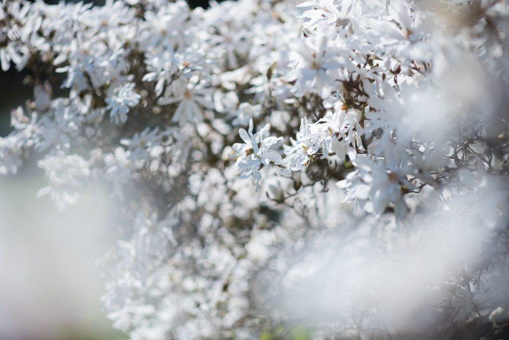 Blütezeit. Frühling in Karlsruhe
