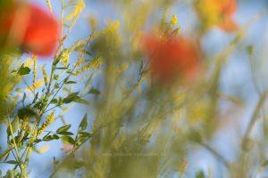 Sommerwiese, Mohn abstrakt