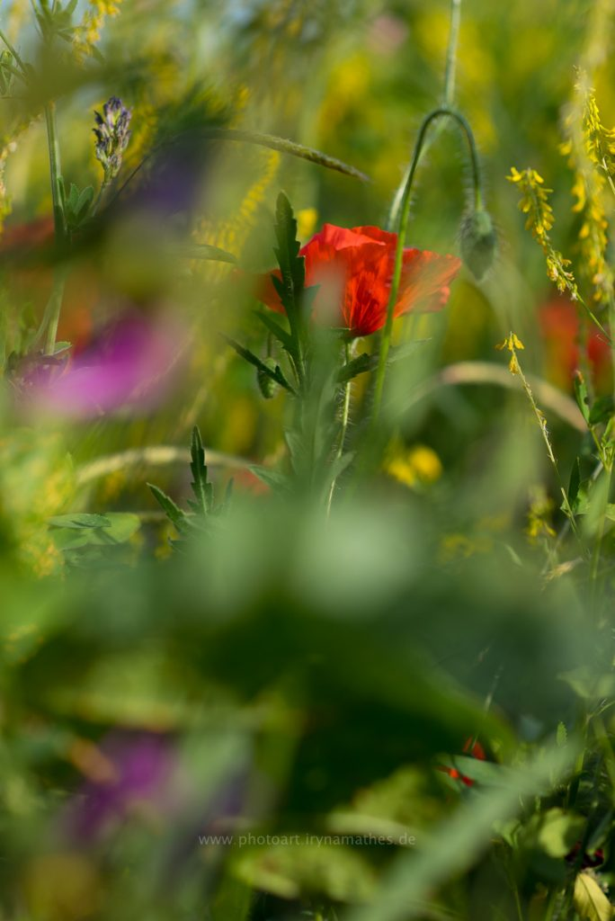 Sommerwiese-web-8502