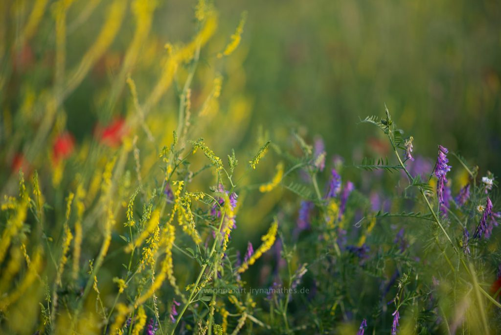 Sommerwiese-web-8519