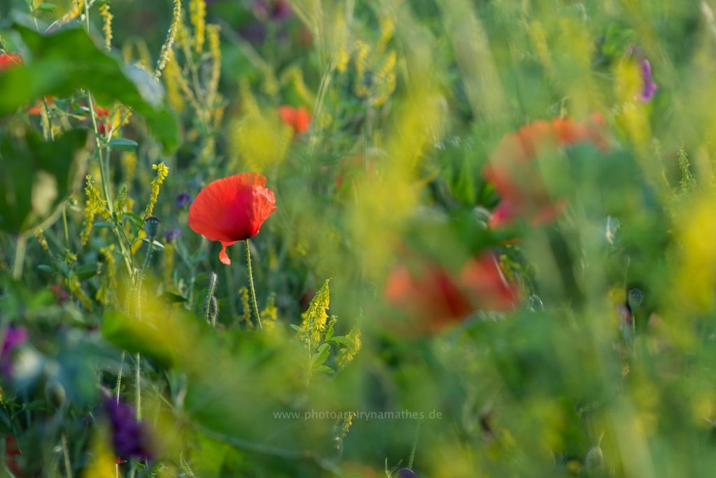Sommerwiese-web-8557