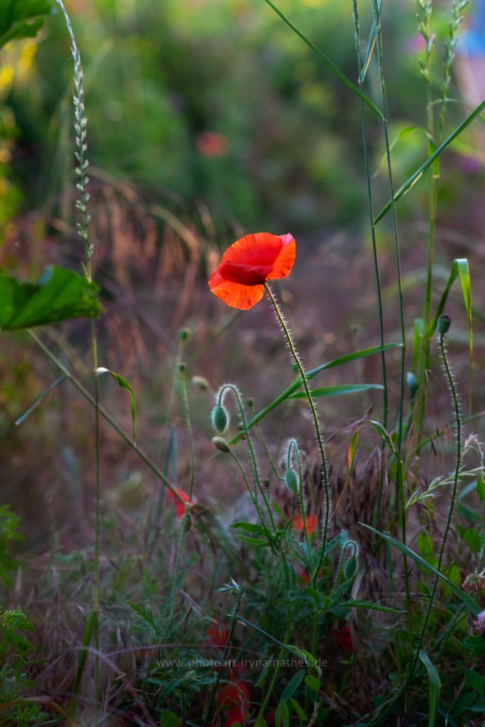 Sommerwiese-web-8573-2