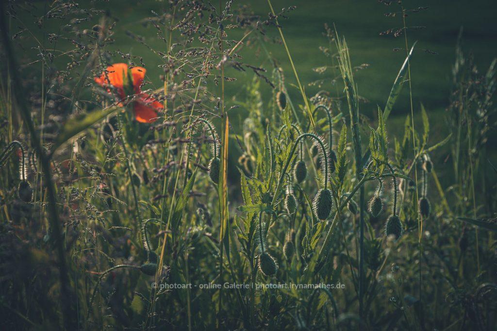 Sommerwiese im Gegenlicht