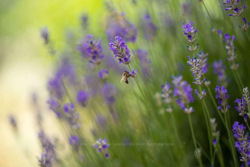 Lavendel-2020-irynamathes-web-8642