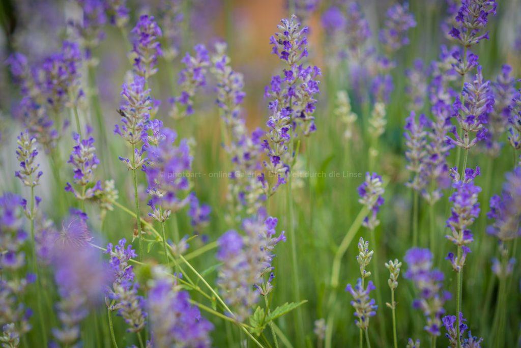 Lavendel-2020-irynamathes-web-8647