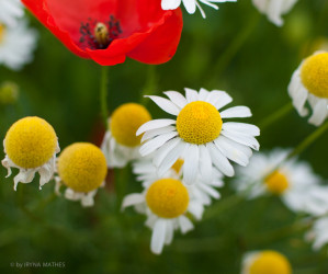 Naturfotografie: Sommerwiese: Mohn und Margerite