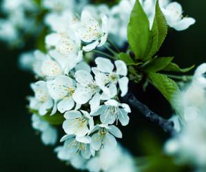 Kirschbaum Ast mit Blüte, fotografiert von Iryna Mathes