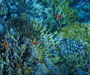 Rotes Meer, Unterwasserfotos. Korallen und Fische sind eine bunte Welt