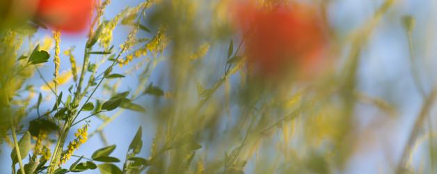 Sommerwiese. Mohn und bunte Gräser. Natur fotografie