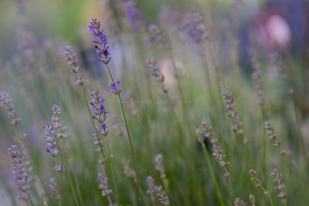 Lavendel ganz nah. Natur Fotografie
